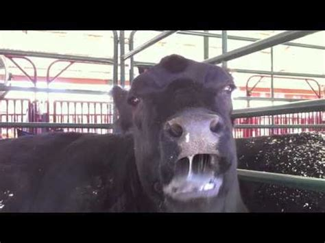 Cow Tongues Nose - YouTube