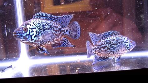 Electric Blue Jack Dempsey Cichlid Fish Youth - YouTube