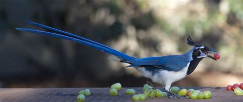 Black-throated Magpie-Jay | San Diego Bird Spot
