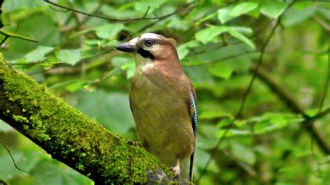 Eurasian Jay Bird in Summer - YouTube