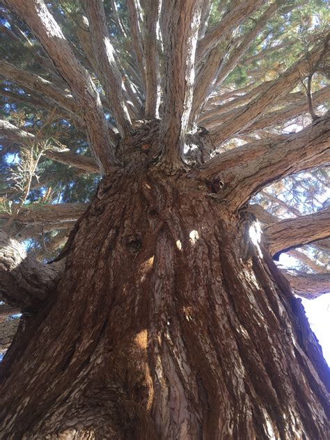 Giant sequoia move on schedule in Idaho, tree doing well