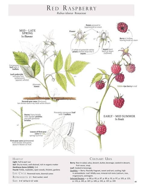 Red Raspberry (Rubus idaeus) Plant Identification pages