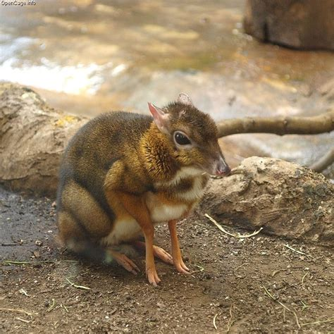Lesser Malay Mouse Deer, the smallest even-toed ungulate