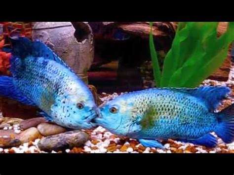 Electric Blue Jack Dempsey's and Angelfish - YouTube