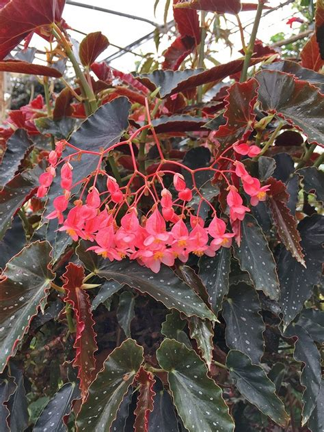 Angel Wing Begonia for Sale ~ Angel Wing Begonia 'Pinafore'