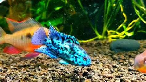 Electric blue jack dempsey in community tank - YouTube
